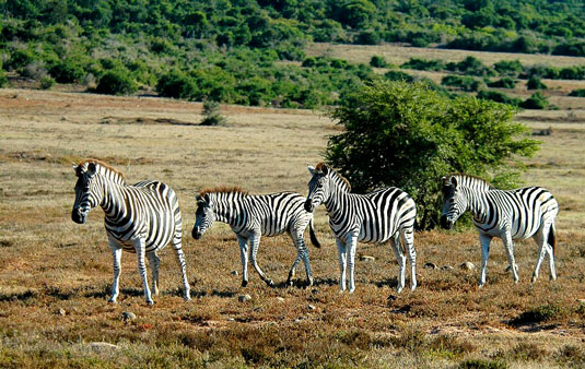 Zebra Addo Elephant National Park Eastern Cape South Africa